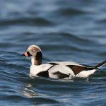 コオリガモ Long-tailed-Ducks